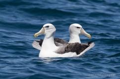 Shy Albatrosses