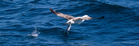 Shy Albatross takeoff