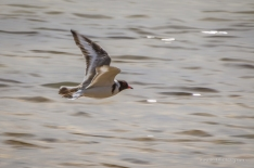 Hooded Plover in flight