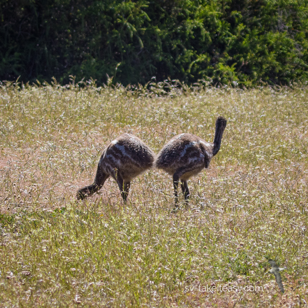 Two Emu chicks