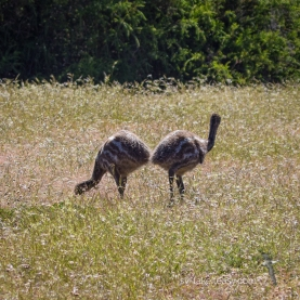 Two Emu chicks