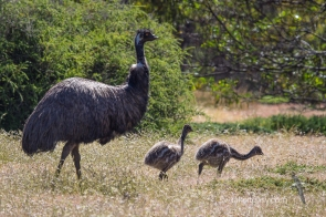 Male Emu and chicks