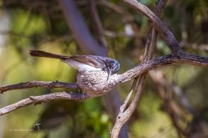 On the nest at Serendip Sanctuary