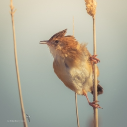 Golden-headed Cisticola calling