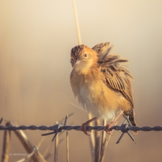 Golden-headed Cisticola - Preening