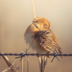 Golden-headed Cisticola preening