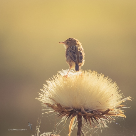 Golden-headed Cisticola on thistle head