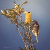 Noisy Minah feeding on banksia