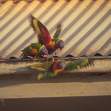 Two soggy Rainbow Lorikeets chasing off a third!