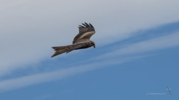 Black Kite in flight