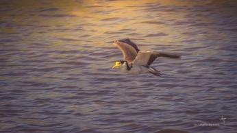 Masked Lapwing in flight