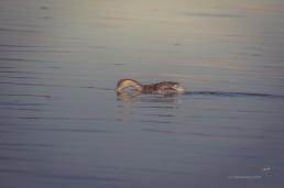 Hoary-headed Grebe feeding on the surface