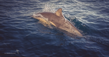 Dolphin at our bow