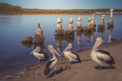 Pelicans at Greenwell Point