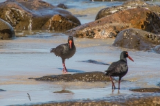 Endangered Sooty Oystercatchers