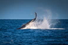Humpback whale starting to tail lob - raw power