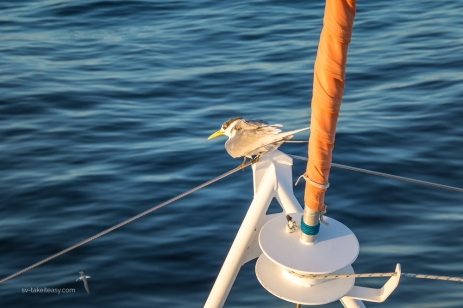 Hitchhiker - a crested tern