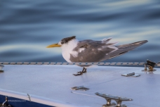 A little Crested Tern having a rest
