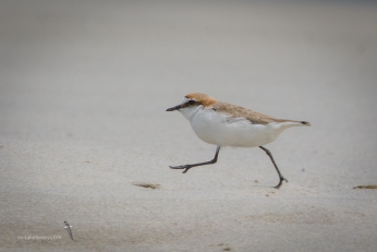Red-capped Dotterel running!