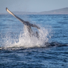 Humpack Whale Tail Saps