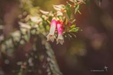 Epacris longiflora - Fuchsia Heath