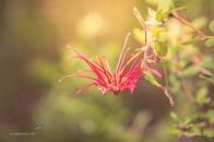 Grevillea Speciosa - Red Spider Flower wide open