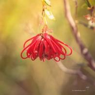 Grevillea speciosa - Red Spider FLower in bud