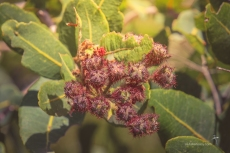 Angophora hispida - Dwarf Apple in bud