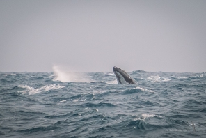 Humpback Whale Spyhopping
