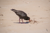 Sooty Oystercatcher - vulnerable
