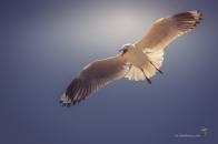 Silver gull in flight