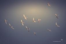 Fairy Terns - they are tiny!
