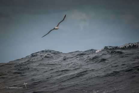 Buller's Albatross in the swell