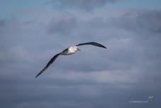 Shy Albatross