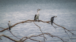 Pied and Little Pied Cormorans