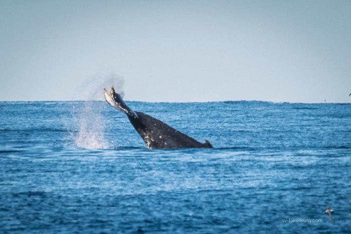 Humpback Whale tail lobbing