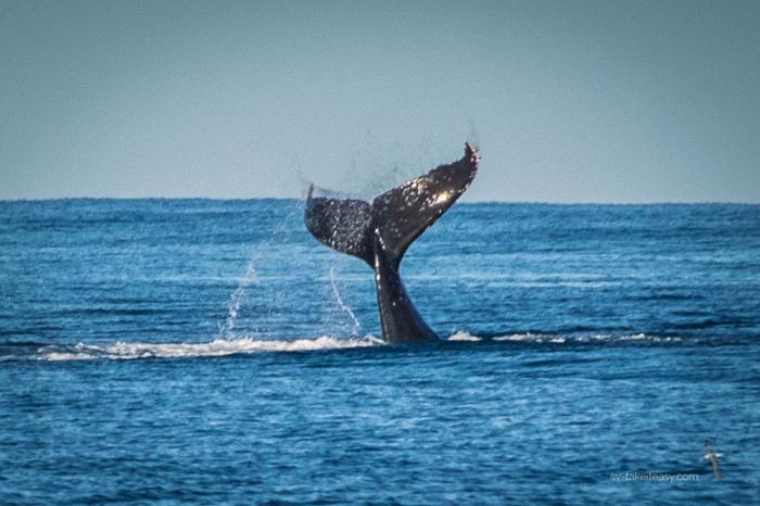 Tail Lobbing Whale