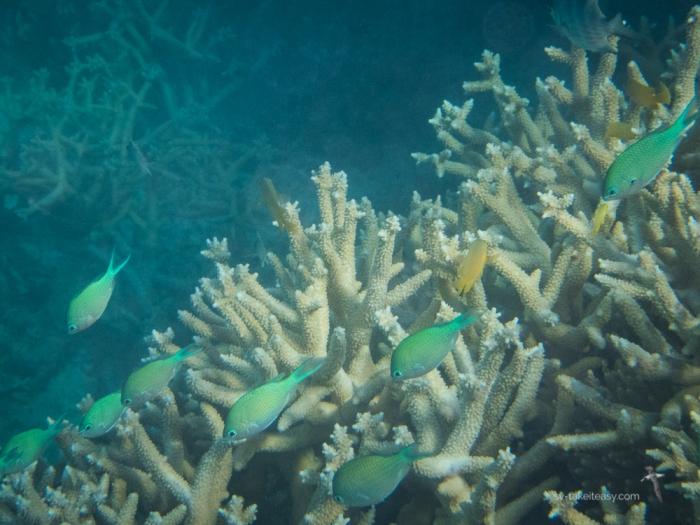 Damsels at Lady Elliot Island