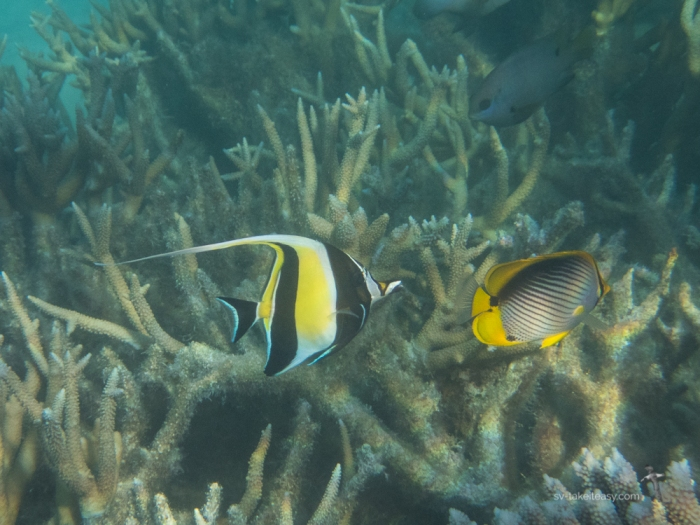 Moorish Idol and Black-backed Butterflyfish