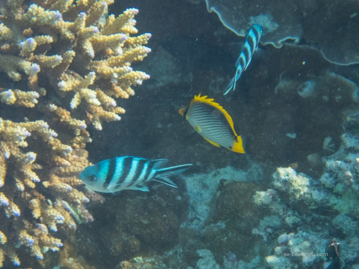 Scissor-tail Sergeants and Black-back Butterflyfish