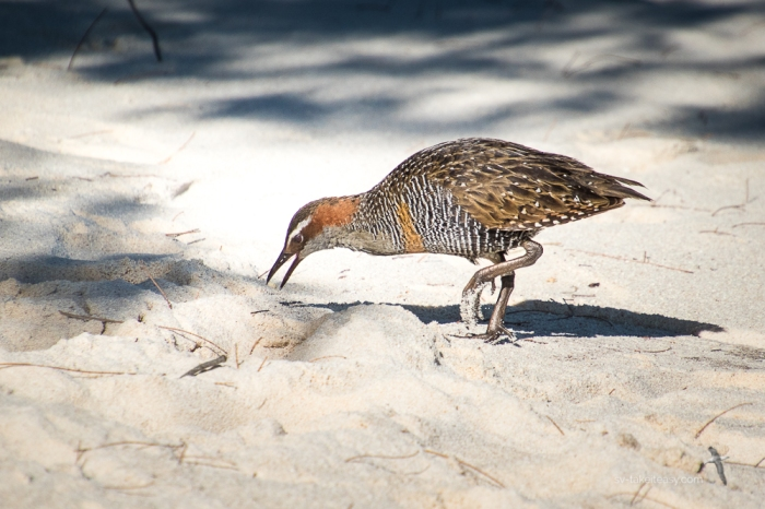 Banded Rail at Lady Musgrave