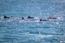 Dolphins fishing at the back of the boat!