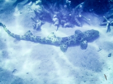 A carpetshark... new find!