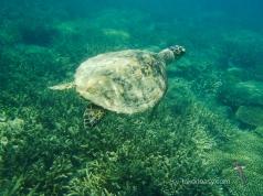 Green Sea Turtle swimming away!
