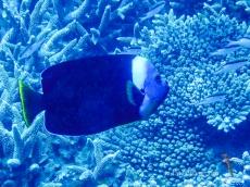 Yellowtail Queensland Angelfish