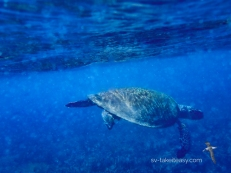 Green Sea Turtle about to surface