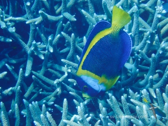 Scribbled Angelfish munching on coral
