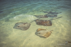 A congregation of Cowtail Stingrays