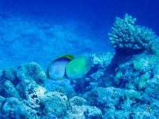 Butterflyfish, Blackback and Citron