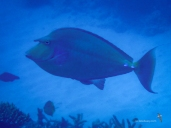Here is the Bluespine Unicornfish again!